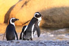 Free African Penguins Stock Photography - 8015672