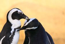 Free African Penguin Stock Images - 8015954