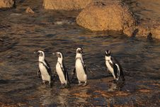 Free African Penguins Royalty Free Stock Photos - 8016078