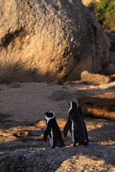 Free African Penguins Royalty Free Stock Photography - 8016097