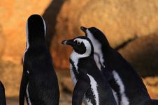 Free African Penguins Stock Photography - 8016112