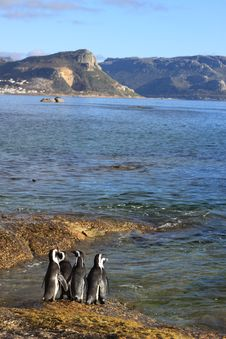 Free The African Penguin Royalty Free Stock Photography - 8016127