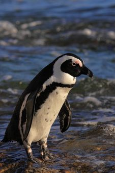 Free African Penguin Royalty Free Stock Images - 8016139