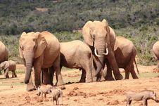 Free Elephants And Warthogs Stock Photo - 8016350