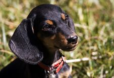 Free Dachshund Puppy Royalty Free Stock Photography - 8017077