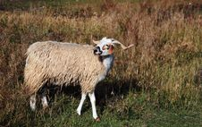 Free Goat Royalty Free Stock Photo - 8018275