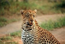 Free Leopard Stock Photo - 8018780