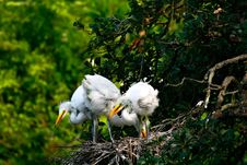 Free Great White Egret Chicks Royalty Free Stock Photos - 8019578