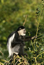 Free Black-and-white Colobus Monkey In A Tree Stock Photography - 8023512