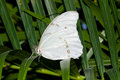Free White Morpho Butterfly (Morpho Polyphemus) Royalty Free Stock Photography - 8029007