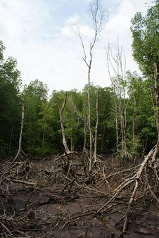 Wetland Mangroves Royalty Free Stock Photo