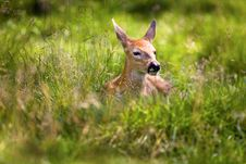 Free Fawn Resting 6 Royalty Free Stock Photo - 8021025