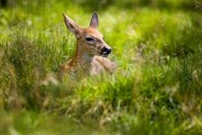 Free Fawn Resting 5 Royalty Free Stock Photo - 8021175