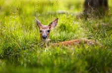 Free Fawn Resting 2 Stock Photography - 8021192