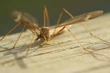 Free Crane Fly Stock Photo - 8022510
