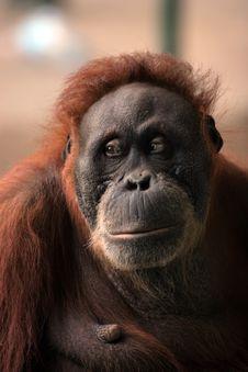 Large Brown Hairy Orangutan Stock Photo