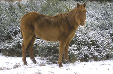 Snow Horse Royalty Free Stock Photography