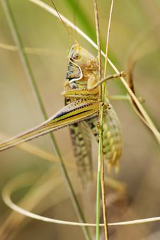 Free Grasshopper Stock Photos - 8023173