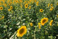 Free Sunflower Field Stock Photo - 8023220