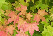 Free Maple Leaves Stock Photos - 8023253