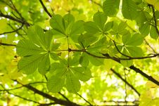 Free Chestnut Leaves Royalty Free Stock Photography - 8023357