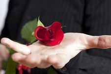 Free Male Hand Holding Red Rose Stock Photo - 8023570