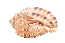 Free Sea Shell Royalty Free Stock Photos - 8024148