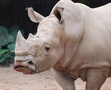 Free Rhino Stock Photo - 8027960
