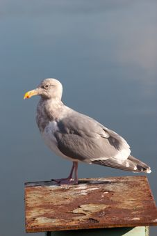 Free Seagull Royalty Free Stock Photos - 8028328