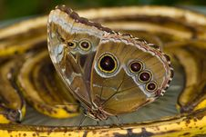 Free Blue Morpho Butterfly Royalty Free Stock Photo - 8028975