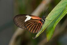 Piano Key Butterfly (Heliconius Melpomene). Stock Photo