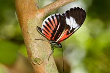 Piano Key Butterfly (Heliconius Melpomene). Royalty Free Stock Images