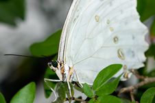 Free White Morpho Butterfly (Morpho Polyphemus) Stock Photography - 8028992
