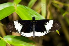 Free Cydno Longwing Butterfly (Heliconius Sapho) Royalty Free Stock Photos - 8028998