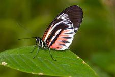 Piano Key Butterfly (Heliconius Melpomene). Royalty Free Stock Image