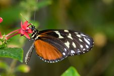 Free Male Common Mechanitis Butterfly Stock Photo - 8029010
