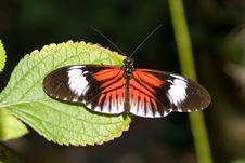 Piano Key Butterfly (Heliconius Melpomene). Royalty Free Stock Photo