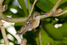 Free Hummingbird Stock Photo - 8029020
