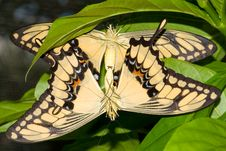 Mating Swallowtail Butterfly (Papilio Cresphonte) Stock Photography