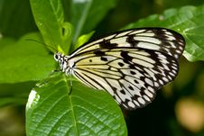 Tree Nymph Butterfly (Idea Leuconoe) Stock Photography