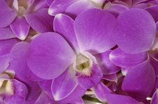 Free Pink Orchid Stock Images - 8029494