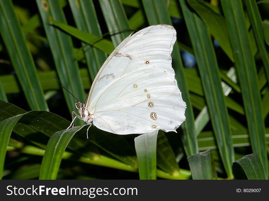 White Morpho Butterfly (Morpho polyphemus)