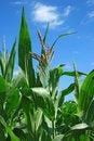 Free Mais Plant Stock Images - 8030544