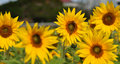 Free SunFlower With Bees Royalty Free Stock Photo - 8034635