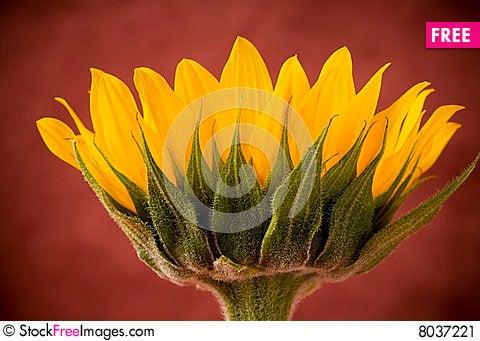 Free Yellow Sunflower Blossom Stock Image - 8037221