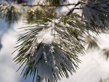 Free Branch Of The Cedar Stock Photography - 8030542