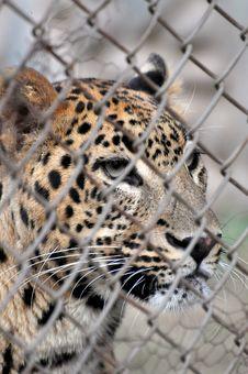 Free Leopard Stock Image - 8030701