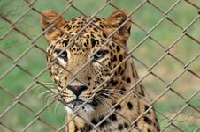 Free Leopard Royalty Free Stock Photos - 8030738