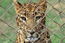 Free Leopard Stock Photo - 8030860