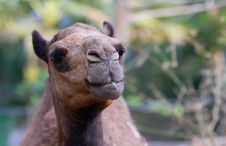 Free Camel Eating Stock Images - 8032144